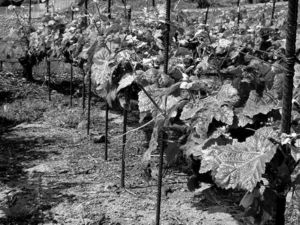 Detalle de finca con viñedo, en Tenerife. / CANARIAS3PUNTOCERO