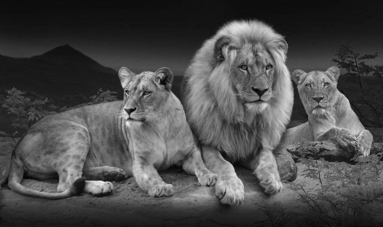 leones_africanos