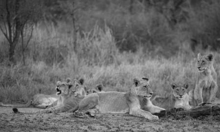 leones_africanos__2_