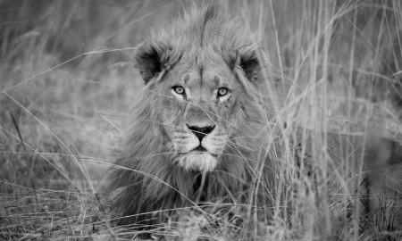 Leonmacho_PaulFunston_Panthera