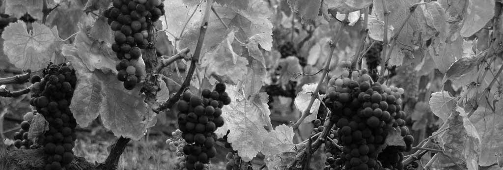 Viñedos y uvas con destino a la elaboración de caldos de calidad. / CANARIAS3PUNTOCERO