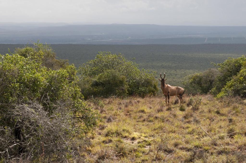 Antilope en el Parque Nacional de Elefantes Addo