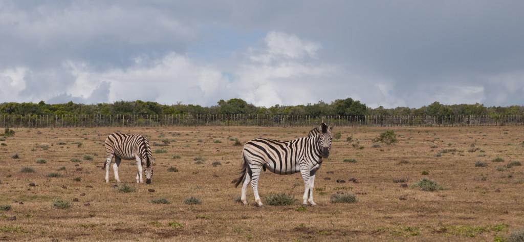 Cebras en el Parque Nacional de Addo