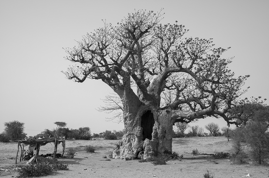 Magnífico ejemplar de baobab, en el interior del país