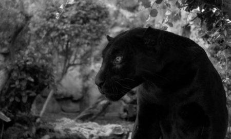 Loro Parque da la bienvenida a un nuevo jaguar
